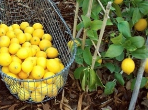 picking-lemons-490x326