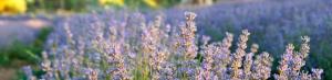 lavender_tree