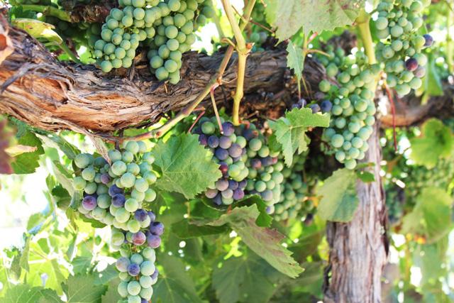 Napa Harvest MalbecVeraison2014