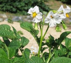 potato-blossom-470x419