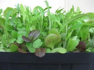 Microgreen-Earthwise Gardening