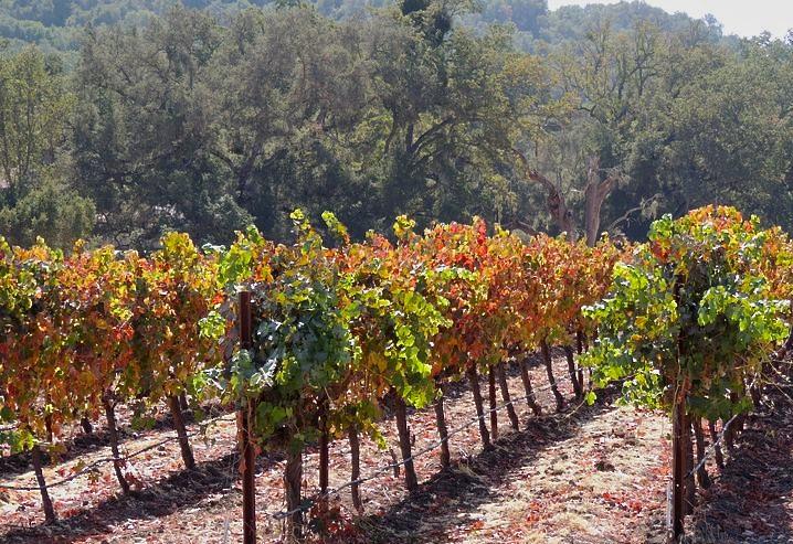 fall grapevines Halter Ranch 2011