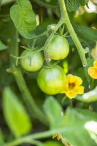 Heirloom Tomatoes Growing-5461