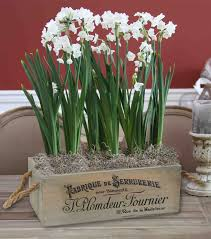 paperwhites-potted